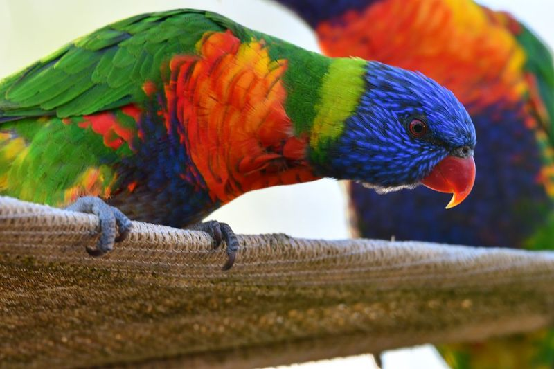 Animal Themes Animal Vertebrate Bird Parrot Animal Wildlife Animals In The Wild Selective Focus Day Nature Outdoors Beauty In Nature Close-up Focus On Foreground One Animal Perching No People Multi Colored Rainbow Lorikeet