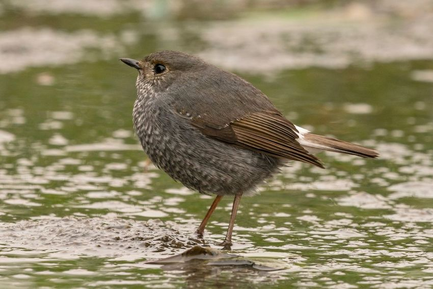 Sigma 150-600c Sony A7RII Hong Kong Plumbeous Water Redstart Bird Animals In The Wild One Animal Animal Themes Animal Wildlife Focus On Foreground Perching No People Outdoors Day Water Close-up Nature