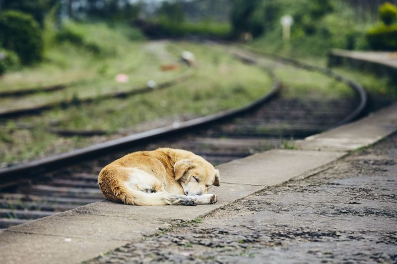 Tired dog sleeping on platform of train station. Themes loyalty, lost, hope and travel. Dog Lonely Alone Loneliness Sad Sadness Animal Themes Domestic Animals Pets Cute Canine Travel Transportation Railroad Track Railroad Station Railway Railroad Station Platform One Animal Lost Waiting Sleeping Obedience Patience Hope Loyalty