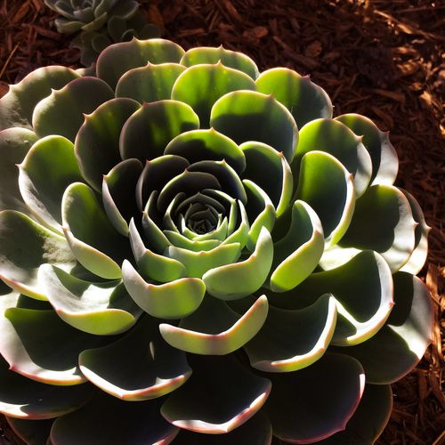 Hen and Chicks succulents Succulent Plant Plants Hen And Chick Nature Green Color Close-up Outdoors