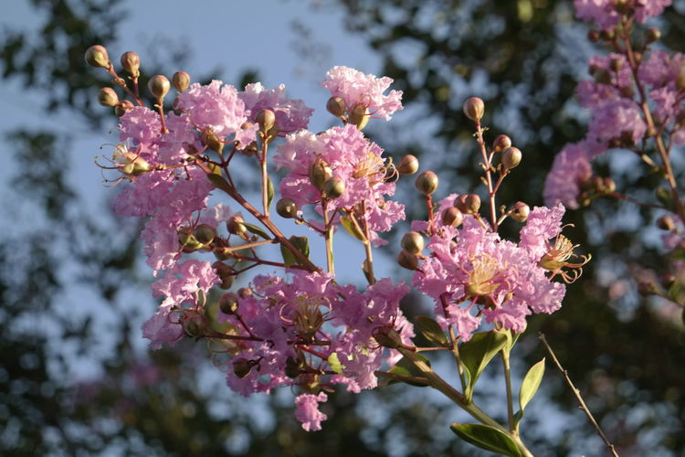 Low angle view of pink crepe myrtle growing on tree