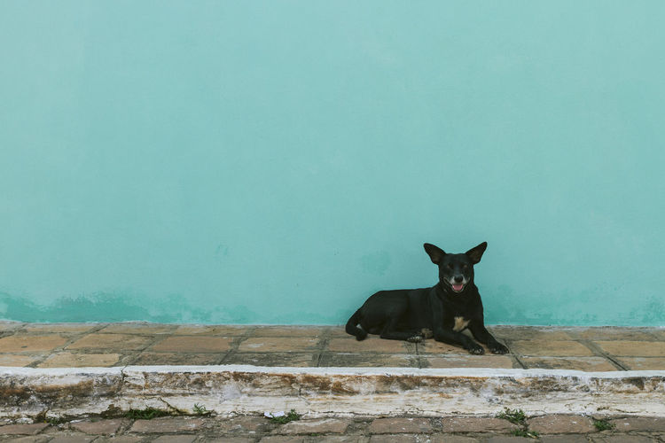 Dog resting on sidewalk against turquoise wall