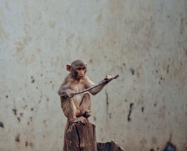 Monkeys Monkey Sitting Alone Sitting Monkey Sitting Stick Standing Samurai