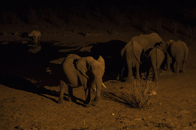 Elephants and rhinoceros at lakeshore during night