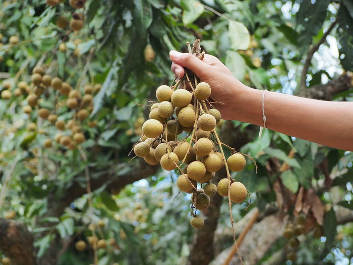 Cropped hand of woman holding fruit on tree