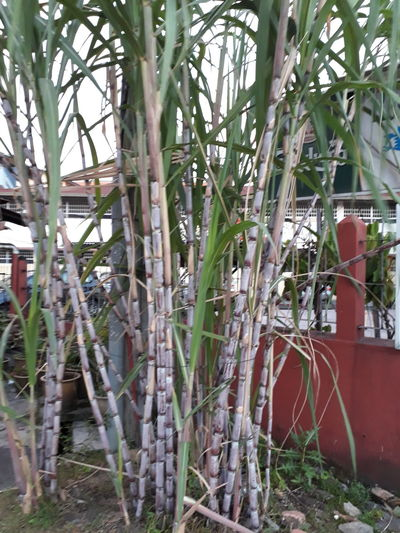 Sugarcane Plants Sugarcane Sugar Cane Sugarcane Field Sugarcane Tree Sugarcane Field Black Sugar Cane Black Sugarcane Long Leaf Day Tree Outdoors No People Growth Branch Nature