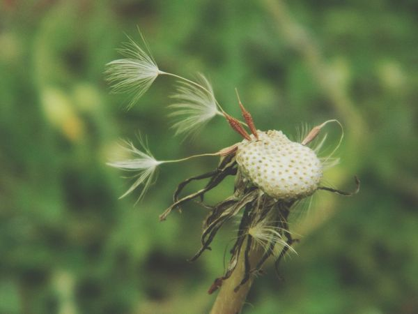 Nature Flower Plant Close-up Outdoors Focus On Foreground Growth No People Day Fragility Freshness Beauty Flower Head Beauty In Nature Springtime Dandelion EyeEm EyeEm Nature Lover EyeEm Gallery
