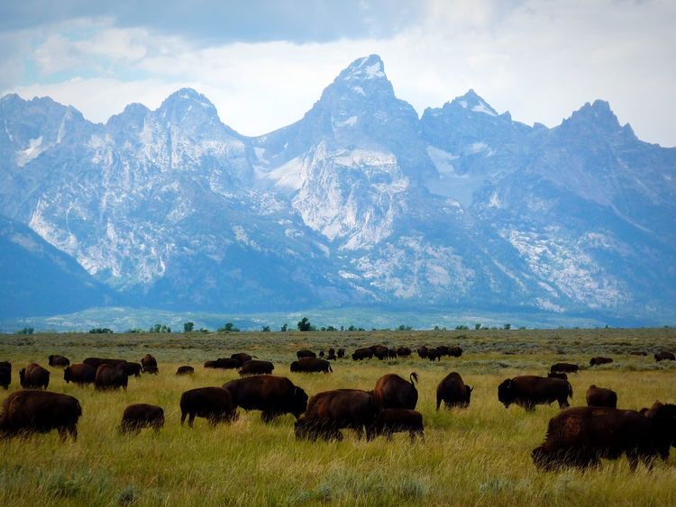 Buffalo - Bison Wilderness Area Wilde Natur Outdoors Animal Migration Wilder Westen Wild West Prarie Amerikanischer Bison Nationalpark Endangered Species Greater Yellowstone Wyoming Jackson Hole Bisonherde Bison Herd Bisons Prairie Mountain Mountain Range Large Group Of Animals Landscape Nature Animal Themes No People Outdoors Grazing Beauty In Nature Group Of Animals Grass Mammal