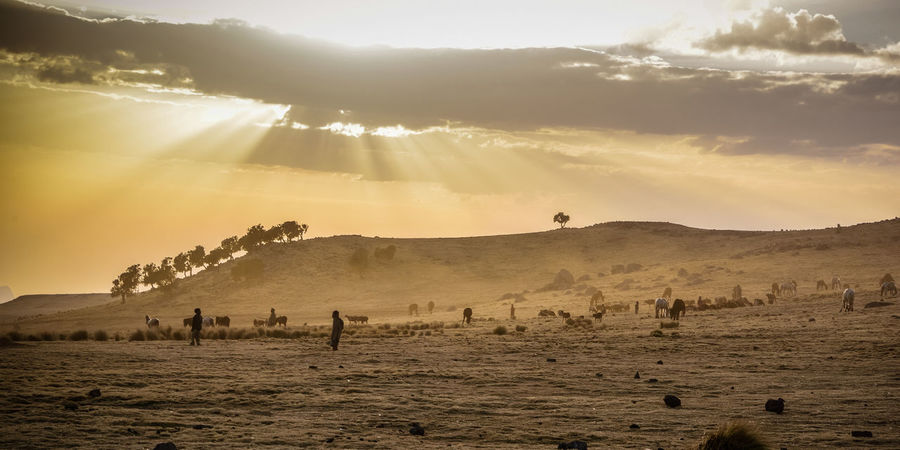 Hochland von Äthiopien Ethiopia EyeEm Selects American Bison Tree Rural Scene Agriculture Sunset Sunlight Sky Landscape Sheep Grazing Lamb Herd Cattle
