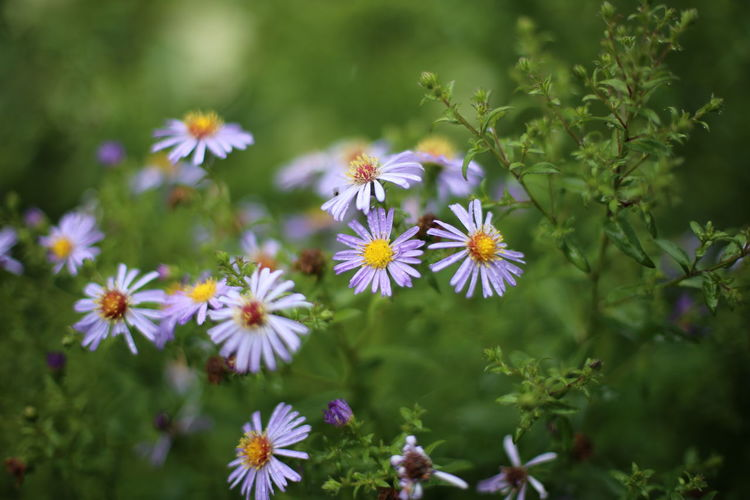 Close-up of purple daisy flowers
