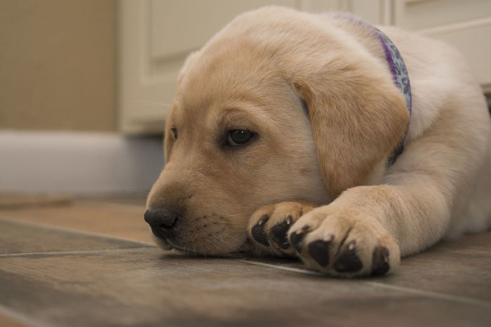 My new family member. Goldi- she is my golden girl aka yellow lab. 7 weeks old. EyeEmAnimalLover Family Love Yellow Labrador Retriever Animal Themes Dog Domestic Animals Furfamily Indoors  Lying Down Nikonphotography One Animal Pets Puppy Purebred Dog Yellow Lab