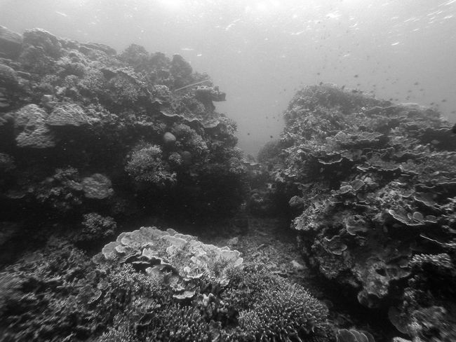 Underwater landscape of Tongo dive spot, Moalboal, (Cebu, the Philippines) Adventure Animal Themes Animals In The Wild ASIA Black & White Cebu Exploring Extreme Sports Leisure Activity Lifestyles Nature Outdoors Philippines Scuba Diving Sea Life Sport Swimming Travel Travel Destinations Underwater Vacations