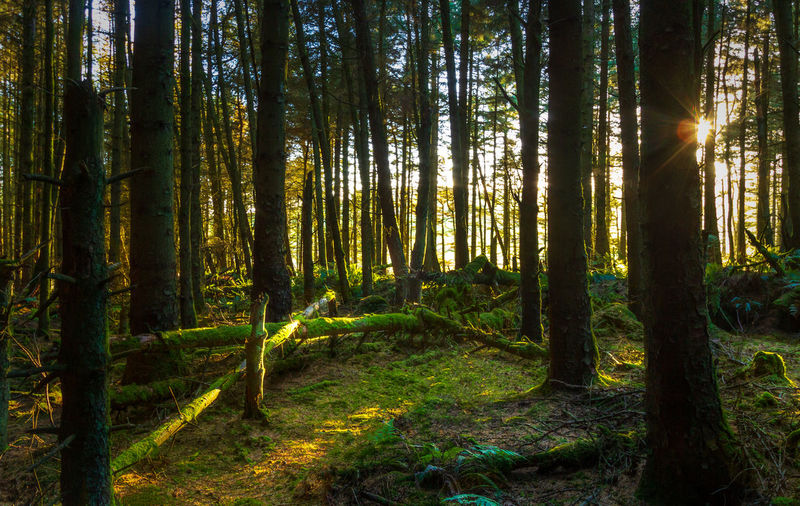 Plant Forest Tree Land Tranquility Trunk Tree Trunk WoodLand Beauty In Nature No People Tranquil Scene Nature Scenics - Nature Sunlight Growth Day Non-urban Scene Outdoors Sunbeam Environment Streaming Isle Of Man Cringle Plantation