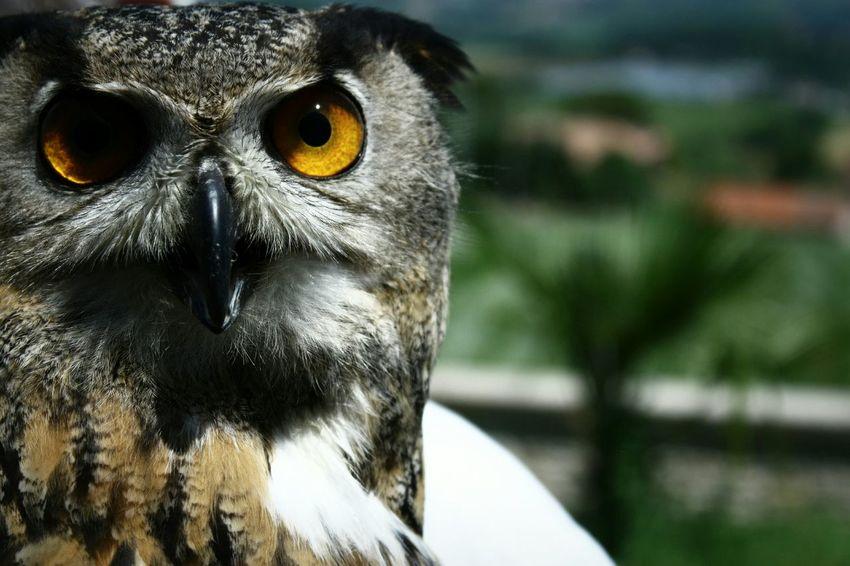 Birds Birdofprey Owl Eye Birdeye Wildeyes Wild Bird Photography Eyes Animal Portrait EyeEm Masterclass EyeEm Best Shots - Nature