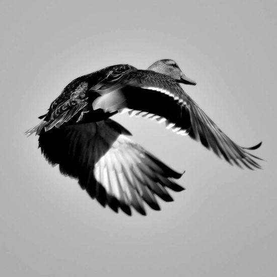 Flying Bird Animal Body Part Animal Wildlife Spread Wings Animal Themes Animals In The Wild One Animal Motion No People Outdoors Day