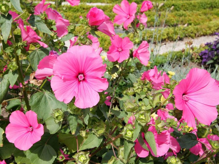 Pink Flowers Pink Flowers In Bloom Beauty In Nature Blooming Close-up Day Eastern Purple Coneflower Flower Flower Head Fragility Freshness Growth Nature No People Outdoors Periwinkle Petal Petunia Pink Color Pink Flowers Plant
