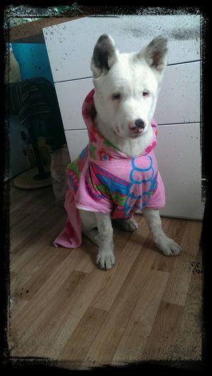 Akitas American Akita I Love My Dog