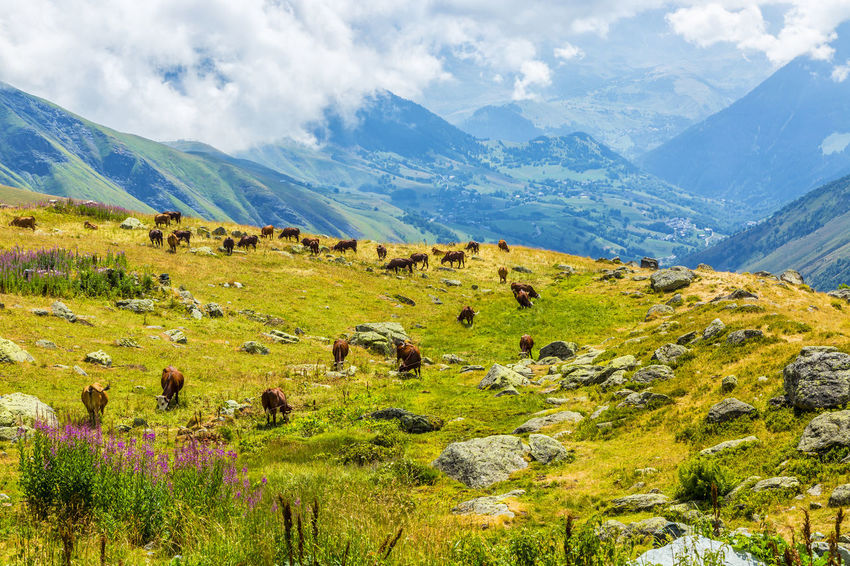 Alpine Alps Animal Themes Animals In The Wild Background Cattles Cloud - Sky Cows Cows In A Field Domestic Animals Grazing Herd Of Cows Landscape Large Group Of Animals Livestock Mammal Mountain Mountain Range Outdoors Scenics Travel Destinations Wilderness Area