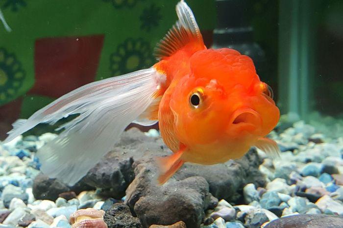Hi Hello World Aminal Themes Aquarium Fish Underwater Goldfish GoldFish! Fish Photography Red Fish Fantail Fish Check This Out Eye4photography  EyeEm Gallery Eyeemphotography Eyeem4photography EyeEm