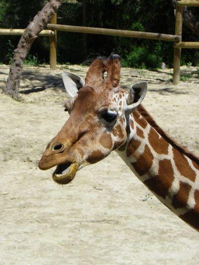 Close-up of a giraffe in zoo