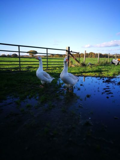 Outdoors Sky Water Geese Family Grass