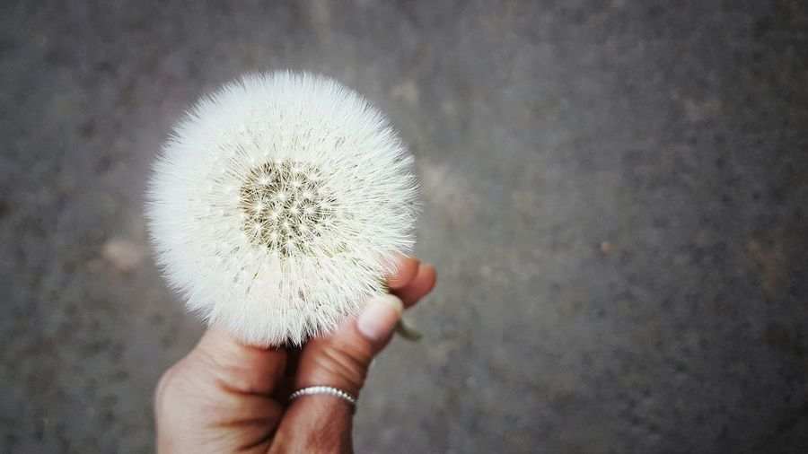 focusing Focus On Foreground Focus On Details #FOCUS Nature Wildflowers Simple Beauty Simple And Beautiful Enjoying Nature Beautiful Focusobject Fragile Filigran Flowers Springtime Enjoying The View Nature Photography Human Hand Holding Close-up Blooming Flower Head In Bloom Dandelion Fragility Single Flower Dandelion Seed