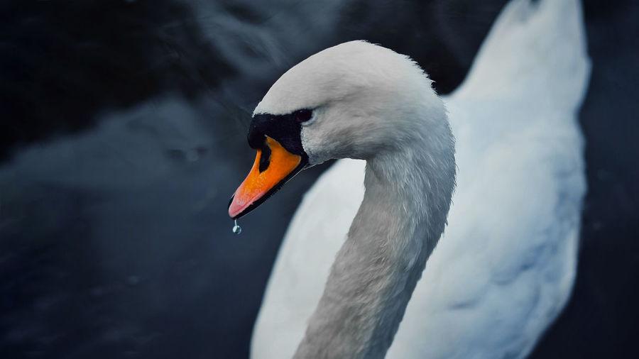 Close-up of swan swimming on lake