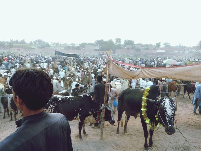 People Domestic Animals Cattle Market Outdoors Mammal Livestock