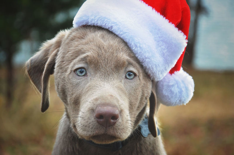 Blue Eyes Christmas Close-up Dog Domestic Animals Focus On Foreground Mammal Pets Portrait Puppy Santa Hat Winter