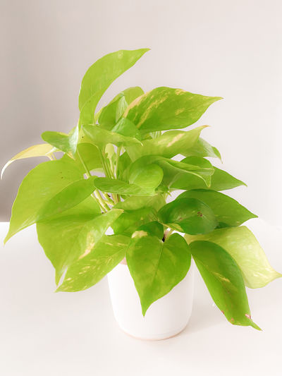 Close-up of fresh green leaves against white background