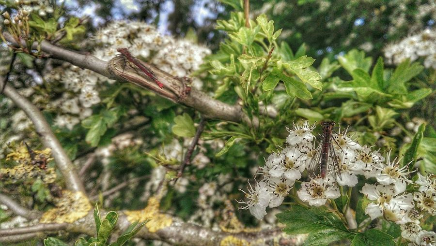 Damselfly Hawthorne Blossom Awesome Blossom Check This Out 2 Nature_collection TreePorn Hdr_Collection Country Walks