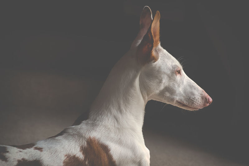 Ibizan Hound Animal Animal Body Part Animal Head  Animal Themes Black Background Canine Close-up Dog Domestic Domestic Animals Indoors  Looking Looking Away Mammal No People One Animal Pets Podenco Ibicenco Profile View Side View Studio Shot Vertebrate White Color