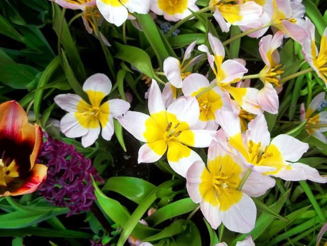Happy Smiling Flowers. Anenome Anenome Flowers Beautiful Flowers Beauty In Nature Blooming Bunch Of Flowers Close-up Day Flower Flower Head Fragility Freshness Growth Happy Face Flowers Happy Flowers Nature No People Outdoors Petal Plant Yellow And White Flower