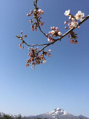 桜 つぼみ 蕾 サクラ 桜2017 Mountains Mountain 磐梯山 Sky Blue Sky 2017/04/30(日)