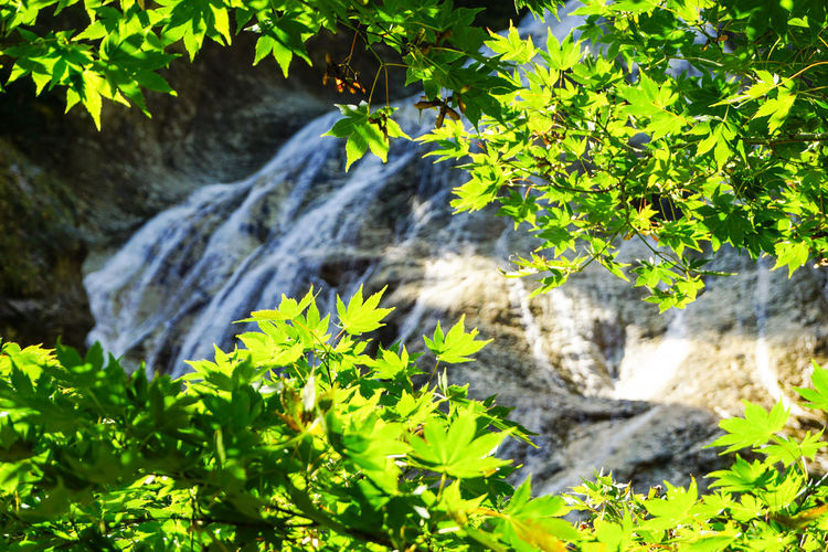 Ishikawa, Japan Maple Green Beauty In Nature Famous Place Forest Freshness Green Color Growth Hakusan Hakusan-shi Landscape Leaf Leaves Maple Maple Leaf Nature No People Outdoors Summer Surrounding Surrounding Leaves Ubagataki Water Waterfall