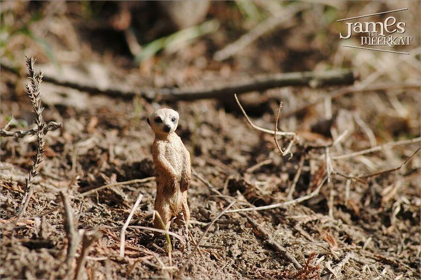 James The Meerkat Meerkat Schleich Figure Toys Nature Macroclique Eye4photography  Macro Cute