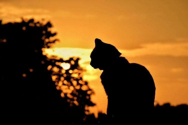 Silhouette Photography Cat On A Wall Sunset Fire In The Sky Trees And Sky Nikonphotography Dramatic Sky No People In My Garden Norwich Vivid Colours  Nikon D3300