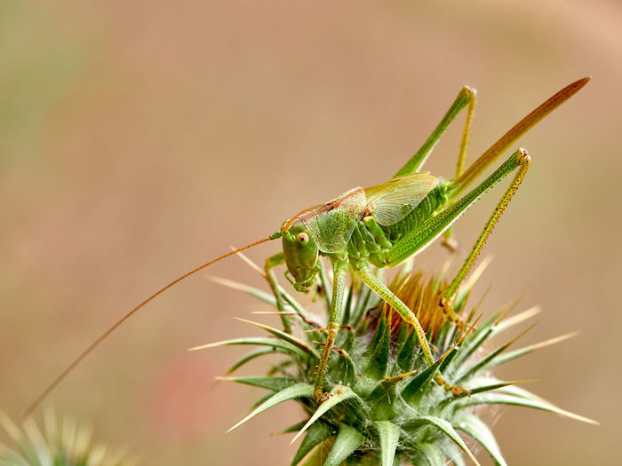 Close-up of grasshopper on thistle