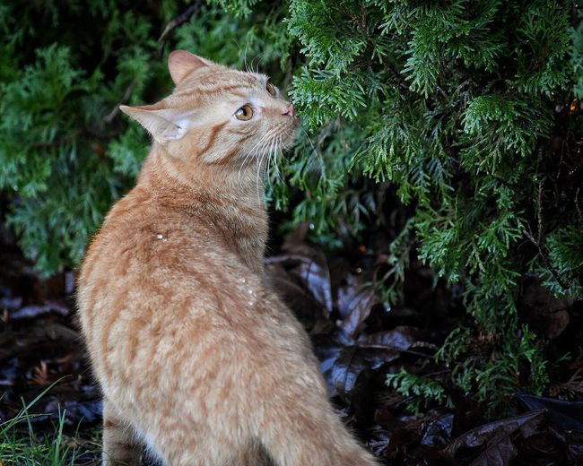 One Animal Animal Themes Domestic Cat Mammal Nature Feline No People Outdoors Domestic Animals Day Ginger Cat Grass Frontyard Outdoor Photography Feline Portraits Animal Cats Cats Of EyeEm Cat Pet Photography  Pets Tree Nature Plant Stubborn