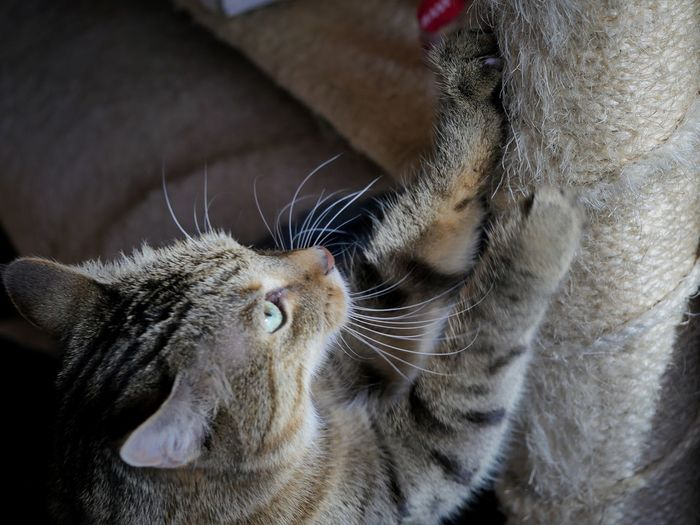 Cat Animals At Home Home Interior Pets Animal Body Part Cat Condo Scratching Animal Themes Domestic Animals Macro Close-up Perspective Tabby Cat Feline Pet Portraits