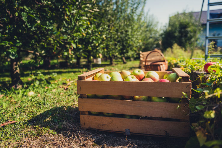 View of apples in field