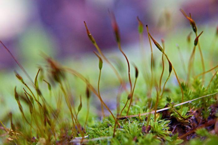Moss Bryophyte Bryophyta Embryophyte Sporophyte Gametophyte Macro