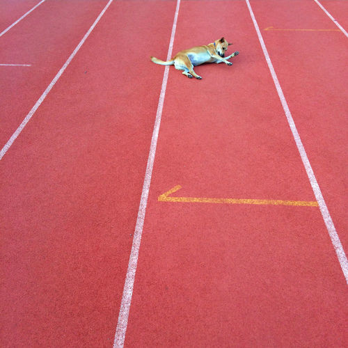 Full length of dog on sports track