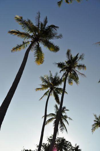 coocnut trees