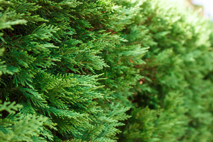 Close-up of pine trees growing outdoors