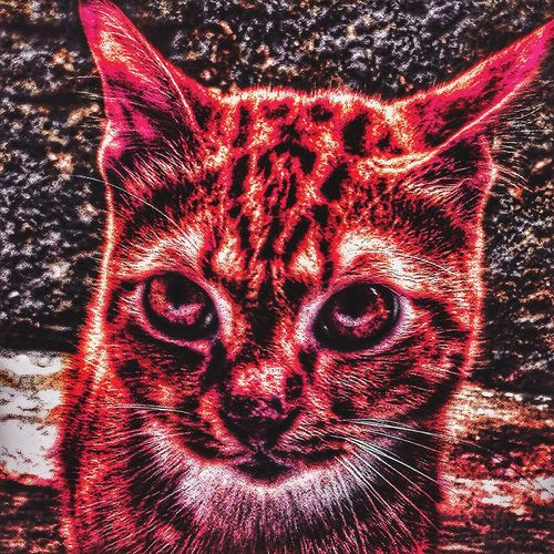Animal Themes One Animal Looking At Camera Pets Domestic Animals Domestic Cat Mammal Portrait Close-up No People Feline Day Outdoors Cat EyeEm Best Shots EyeEmBestPics EyeEm Best Edits Graphic Color Portrait @safeeugene78