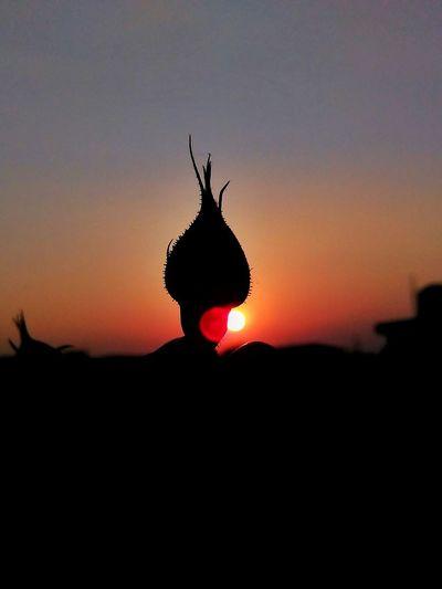 sunset Rosebud