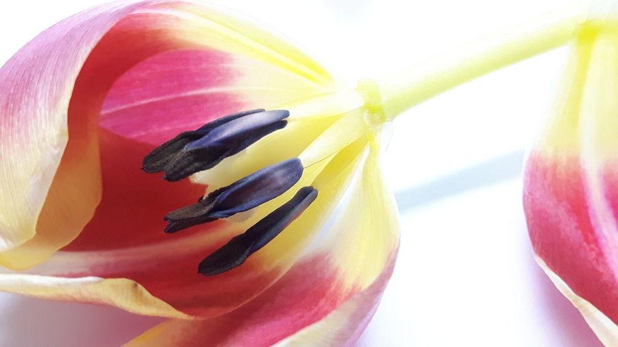 *15 Tulip