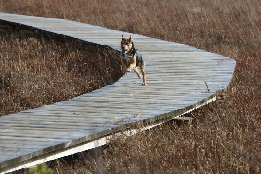Happy Running Surrey Thursley Common Animal Themes Countryside Day Dog Domestic Animals Full Length Grass Motion Nature No People One Animal Outdoors Pets Terrier Walkway