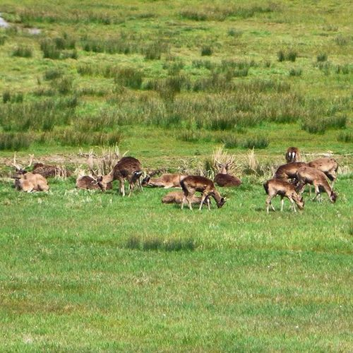 Found a herd of Deer (Roé I think but feel free to correct me!) at RspbAmberley yesterday too, best pic I could get from a View that stretched for miles 🙊 Nature Photography Uknaturecollective Nature Wild Followme Ig_nature Urbanwildlife Ig_wildlife Nuts_about_birds Deer Wildlife Nature England Rsa_nature Ukwildlifeimages Springwatch Lumix Naturehippys